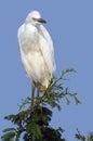 Little egret egretta garzetta in kruger national park south africa Royalty Free Stock Image