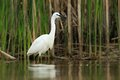 Little egret egretta garzetta in the natural enviroment pond Royalty Free Stock Photo