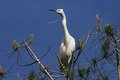 Little egret egretta garzetta in the natural enviroment trees Stock Photography