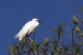 Little egret egretta garzetta in the natural enviroment trees Stock Image