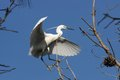 Little egret egretta garzetta in the natural enviroment trees Stock Images