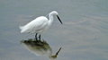Little egret Egretta garzetta Royalty Free Stock Photo