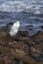 Little egret egretta garzetta resting on the rocks Royalty Free Stock Images