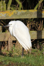Little egret egretta garzetta small white heron close up of a a member of the family of birds that is on the increase in england Stock Images