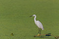 Little egret egretta garzetta standing on a lake Royalty Free Stock Photography