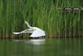 Little egret egretta garzetta start flying in the natural enviroment pond Stock Photo