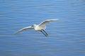 Little egret in flight Royalty Free Stock Photo