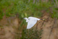Little Egret in flight Royalty Free Stock Photo
