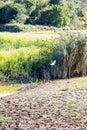 Little egret in flight in marshland near Lake Kerkini, Greece Royalty Free Stock Photo