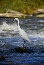Little Egret - Wades Out Into The River  Royalty Free Stock Photography