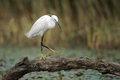 Little egret walking on a tree stump at a small pond Royalty Free Stock Images