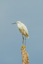 Little egret on the wood in nature of thailand Stock Photography