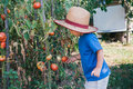 Little farmer in organic garden cute boy picking tomato Stock Images