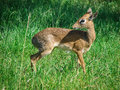 Little fawn. Royalty Free Stock Photo