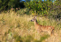 Little female roe-deer Royalty Free Stock Photo
