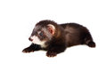 Little ferret two months old lying sable kit isolated on white Stock Photo