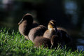 Little fluffy ducklings lying on the grass Royalty Free Stock Images
