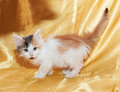 Little fluffy kitten tricolor sneaking with his tongue hanging on gold background Stock Photography