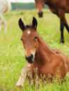 Little foal laeing in meadow Royalty Free Stock Photography