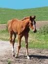 Little foal portrait Royalty Free Stock Photo