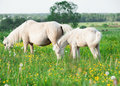 Little foal of welsh pony with mom in the grassland cream outdoor Stock Photo