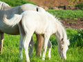 Little foal of welsh pony with mom in the grassland outdoor Royalty Free Stock Images
