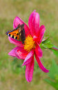 The little fox butterfly in garden Stock Image