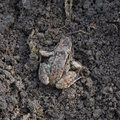 Little frog sitting on the ground Royalty Free Stock Photo