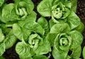 Little Gem Romaine Lettuce. Royalty Free Stock Photo