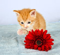 Little ginder kitten lifting his little paw Royalty Free Stock Image