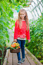 Little girl collecting crop cucumbers and tomatos in greenhouse. Portrait of kid with big busket full of vegetables in