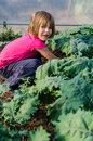 Little girl gathering kale blond red russian leaves Stock Photos