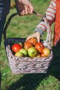 Little girl hand picking a fresh organic apple from wicker basket Royalty Free Stock Photo