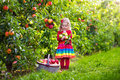 Little girl picking apples from tree in a fruit orchard Royalty Free Stock Photo