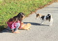 Little girl playing with a cat barefoot kid fondling and orrange and brown and white puppy watching them Royalty Free Stock Photography