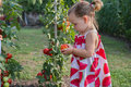 Little girls picked tomatoes ripe Stock Photos