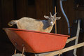 Little goat plays in a red wheel barrow. Royalty Free Stock Photo