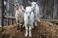 Little goats in the farmyard. Royalty Free Stock Photo