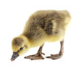 Little gosling on a white background Stock Photo