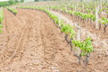 Little grapevine grow up rows of vines lined Stock Photo