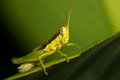 The little grasshopper a close up of on green leaf Royalty Free Stock Images