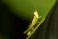 The little grasshopper a close up of on green leaf Stock Photography
