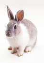 Little gray baby bunny, rabbit Royalty Free Stock Photos