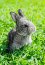 Little gray rabbit on the green lawn Royalty Free Stock Images
