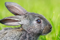 Little gray rabbit on meadow Royalty Free Stock Images