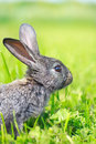 Little gray rabbit on meadow Stock Photo