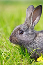 Little gray rabbit on meadow Royalty Free Stock Image