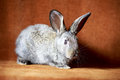 Little gray rabbit portrait in studio Stock Images