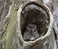 A little gray Screech owl in his nest Royalty Free Stock Photo