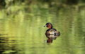 Little grebe. Royalty Free Stock Photography